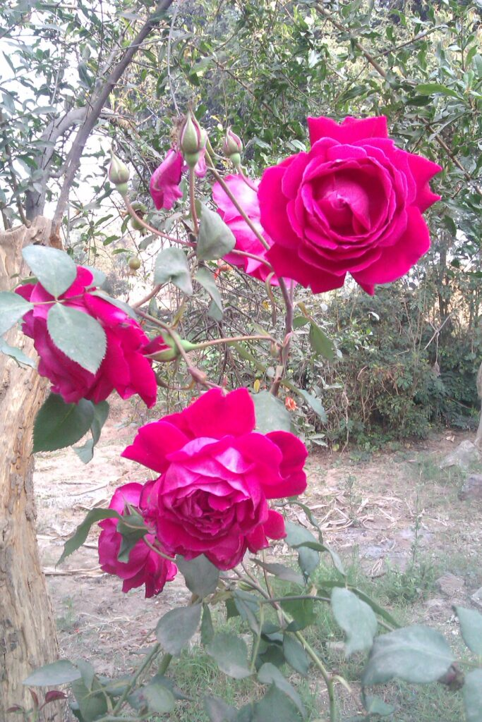Free Images of flower Rose